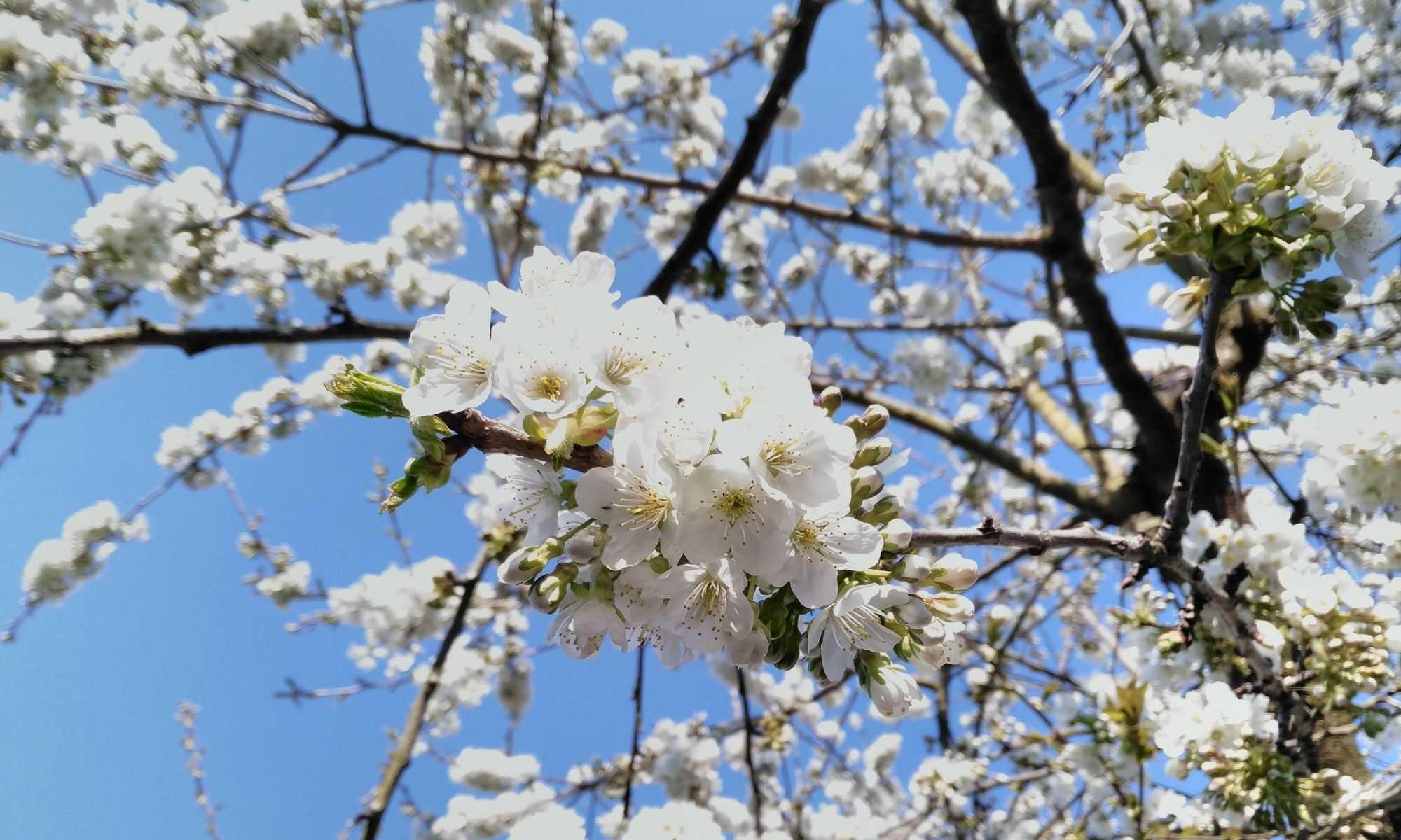 cerisier printemps fleurs abondantes epanouies fecondite